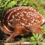 Feeding Fawn(Baby Deer)